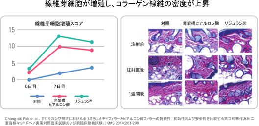 線維芽細胞が増殖し、コラーゲン繊維の密度が上昇